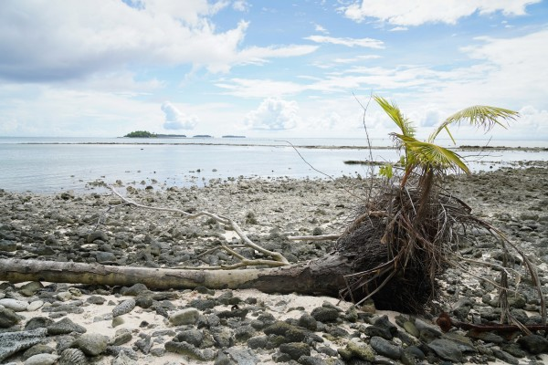 A palm tree impacted by rising tides, Majuro, Marshall Islands. Photo: Darren James