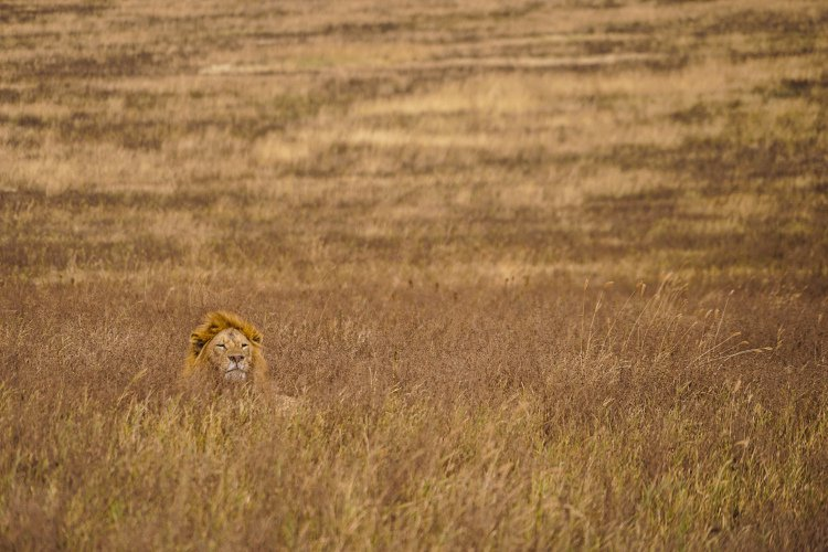 A lion lying in a dry grassy field