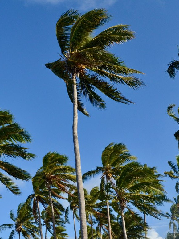 Photo of palm trees in Tonga taken by Madeleine Legge